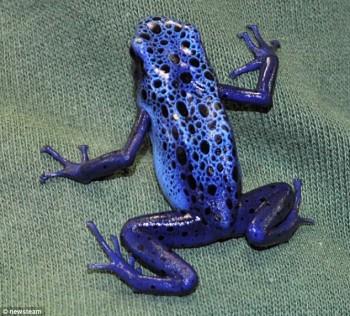 Katak biru